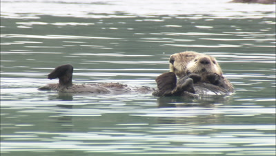 Reveal Alaska Sea Otter With Pup Aca