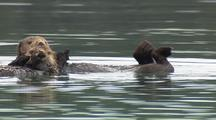 Reveal Alaska Sea Otters