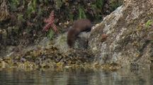 Mink In Intertidal And Swims