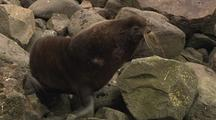 Fur Seal Pribilof Islands