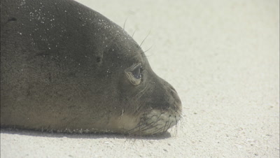 Monk Seal Swims In Shore