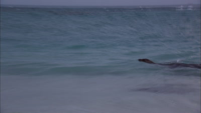 Monk Seal Swimming In Shallows