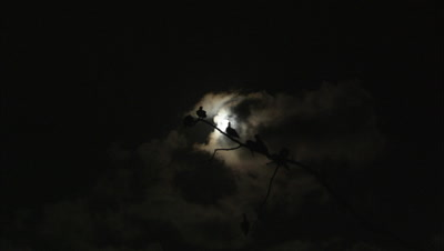 Moonlight Behind Boobies Roosting In Tree