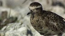 Ruddy Turnstone In Hawaii