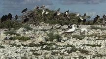 Ruddy Turnstone In Hawaii Pullout