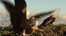 Frigate Bird Practices Flying