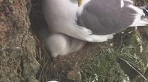 Red Legged Kittiwake With Chick