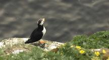 Reveal Rack Focus Horned Puffin