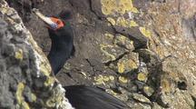 Red Faced Cormorant Pribilof Islands