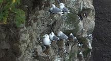 Kittiwakes And Chicks Bird Rookery