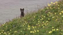 Arctic Fox In Field Wildflowers