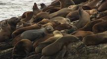 California Sea Lions On Rocks