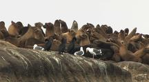 California Sea Lions And Cormorants