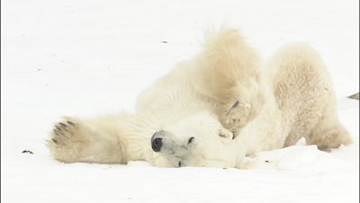 Polar Bear Rolling On Back