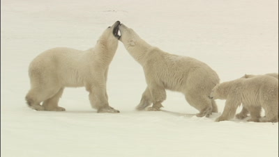 Polar Bear Mom Fights Off Intruder