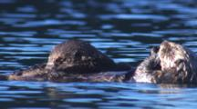 Cineflex Sea Otter Mother With Fuzzy Pup Nursing On Belly Float On Calm Water