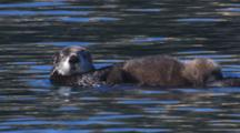 Sea Otter Mother With Fuzzy Pup On Belly Enter Frame Float Past In Calm Water