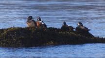 Close Up Lock Shot Colorful Harlequin Ducks In Breeding Plummage Rest On Rocks In Intertidal Zone