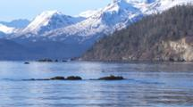 Medium Shot Harlequin Ducks Resting On Exposed Kelp Covered Rock In Intertidal Zone Zoom To Wide Shot Of Coastal Snow Covered Mountain Landscape