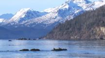 Wide Shot Coastal Snow Covered Mountains Zoom To Breeding Plummage Harlequin Ducks Resting On Exposed Kelp Covered Rock In Intertidal Zone