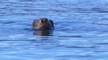 Tight Shot Stellar Sea Lion Rolls Head Out Of Water Flares Nostrils Gives Funny Look Then Submerges