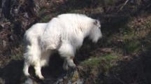 Close Up Lock Shot Beautiful Shaggy White Mountain Goat Grazes On High Coastal Cliffs