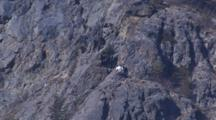 Beautiful Shaggy White Mountain Goat Stands On High Cliffs Near Coast Super Wide Pull From Distant Shot To Super Wide Showing Scale And Height