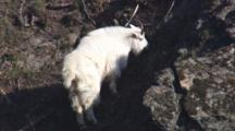 Close Up Lock Shot Beautiful Shaggy White Mountain Goat Grazing On Rocks Near Coast