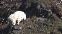 Slow Zoom Medium To Close Up Tracking Shot Beautiful Shaggy White Mountain Goat Grazing On Rocks Near Coast