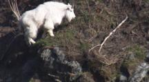 Slow Motion Tilt Up To Beautiful Shaggy White Mountain Goat As It Climbs Rocks Near Coast