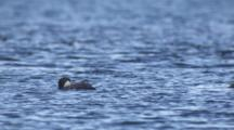 Slow Motion Common Loons Dive Into Calm Ocean