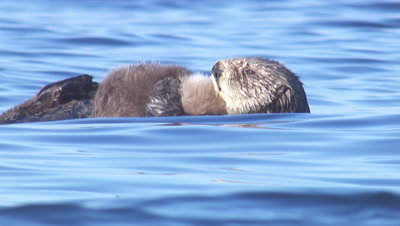Close Up Sea Otter Mother And Pup Drifting On Bright Blue Sea