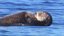 Close Up Sea Otter Mother Holding Pup To Belly Drifting On Bright Blue Sea