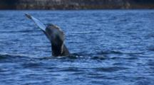 Cineflex Humpback Whale Dives Showing Tail Fluke