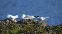 Arctic Tern And Kittiwakes Rest And Preen On Kelp And Barnacle Covered Rocks