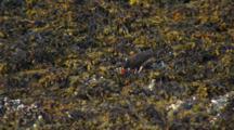 Black Oystercatcher Walks Browses Along Intertidal Rocks Brilliant Red Beak