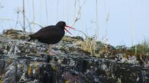 Black Oystercatcher With Brilliant Red Beak Yawns While Standing Watch On Coastal Rocks