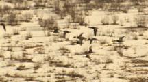 Aerial Cineflex Medium Shot Mallards Fly Over Wetlands Near Wrangell St Elias Range