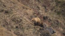 Rare Cineflex Aerial Brown Bear Sow Female With Four Cubs Walking Along Rocky Coast Alaska Peninsula