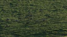 Cineflex Aerial, Medium Wide Shot, Zoom In To Migrating Caribou, Western Arctic Caribou Herd Npra National Petroleum Reserve Shot In Hd In Alaska Arctic