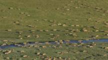 Caribou Herd Grazing And Migrating Along Arctic Tundra Riverbed, Medium Static Shot, Western Arctic Caribou Herd Npra National Petroleum Reserve Shot In Hd In Alaska Arctic