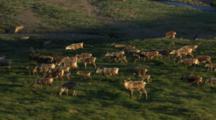Caribou Herd Migrating Across Arctic Tundra, Several Males With Big Antlers, Medium Close Shot Follow Left, Western Arctic Caribou Herd Npra National Petroleum Reserve Shot In Hd In Alaska Arctic