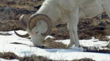 Very Close Up Alaska Wildlife Dall Sheep Eat Under Sunny Skies In Rocky Alpine Tundra Between Snow Patches Mt Denali Mckinley In Background