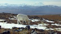 Alaska Wildlife Dall Sheep Eat Under Sunny Skies In Rocky Alpine Tundra Between Snow Patches Mt Denali Mckinley In Background