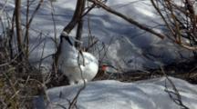 Close Up Lock Shot Ptarmigan Gingerly Walks Across Snow Through Shrub
