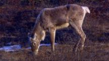 Close Up Lock Shot Caribou With Antler Buds Nibbles On Tundra Lichen Evening Light Some Camera Jiggle