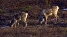 Close Up Tundra Snow Patches Tilt Up Reveal Two Caribou Graze On Lichen Evening Light