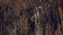 Medium Lock Shot Snowshoe Hare In Spring Summer Pelage Viewed Through Brown Bare Shrubs