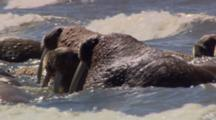 Very Close Up Lock Shot Walrus Sit In Surf In Flat Light