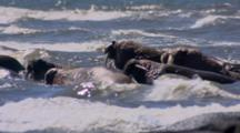 Close Up Lock Shot Walrus Approaches Other Walrus In Surf Lays Head Down Using Walrus Rump As Pillow Flat Light